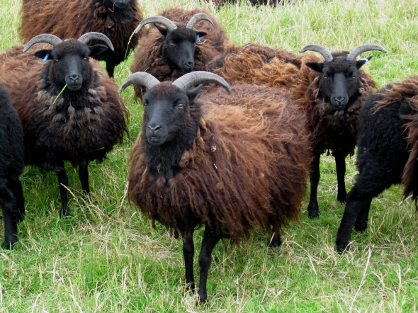 Flock_of_Hebridean_Sheep