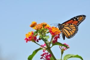 Monarch_Butterfly_-_Danaus_plexippus_(5890526585)